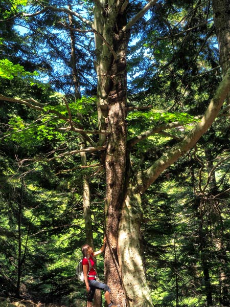 Montseny natural park | noticeable beech and silver fir trees