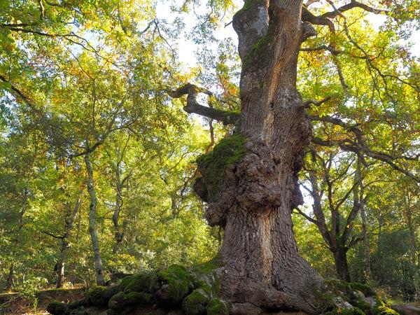 Montseny Barcelona | noticeable oak tree