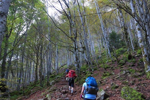 Beech woods in Ariège